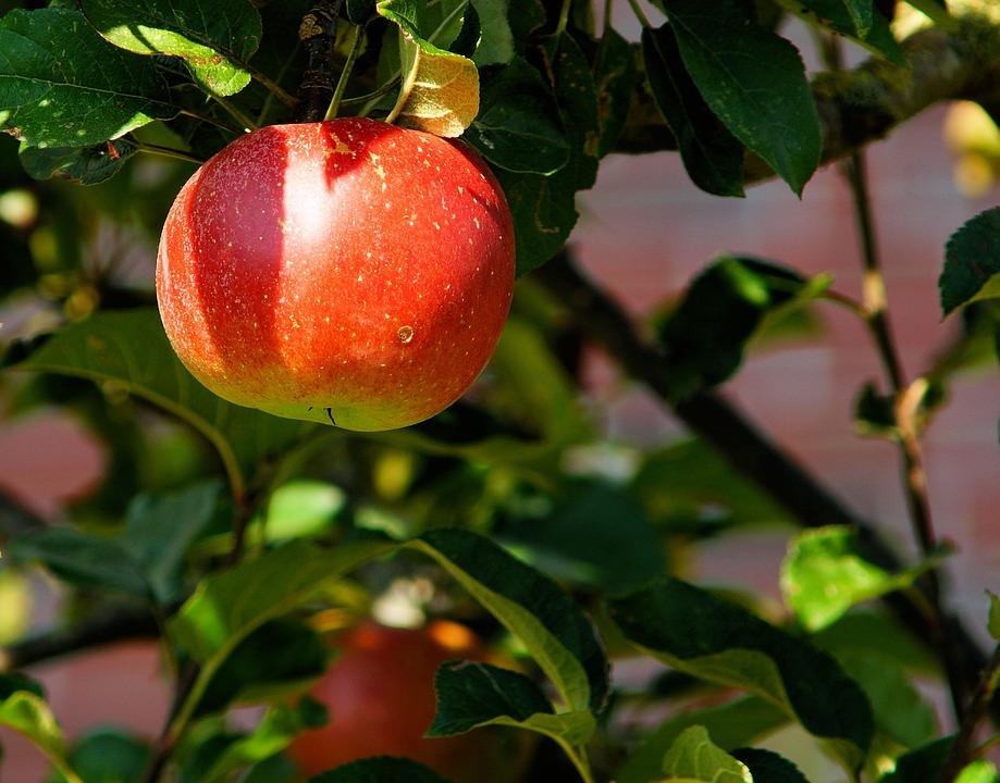 Comment faire pousser une pomme pour en faire de la bonne compote?