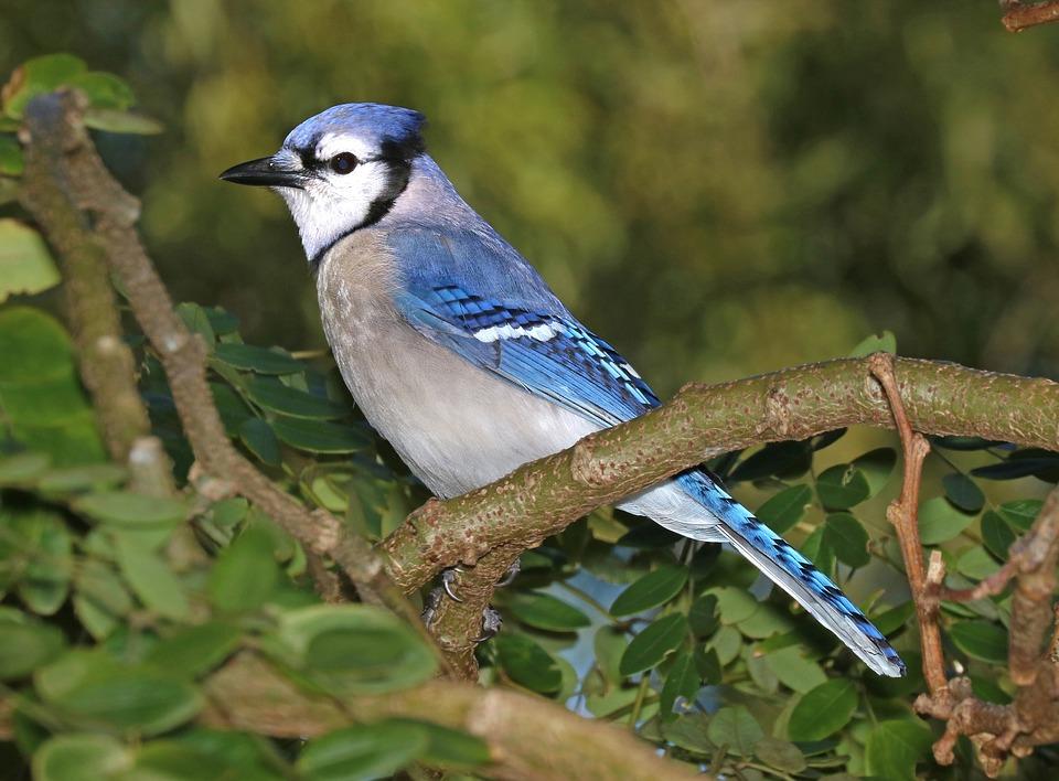 Alimentation des oiseaux geai