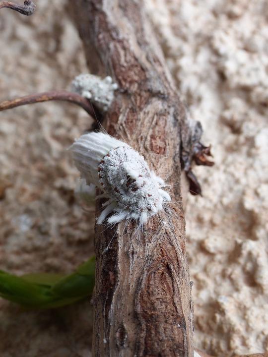 La cochenille, l'insecte qui valorisait autant que l'or