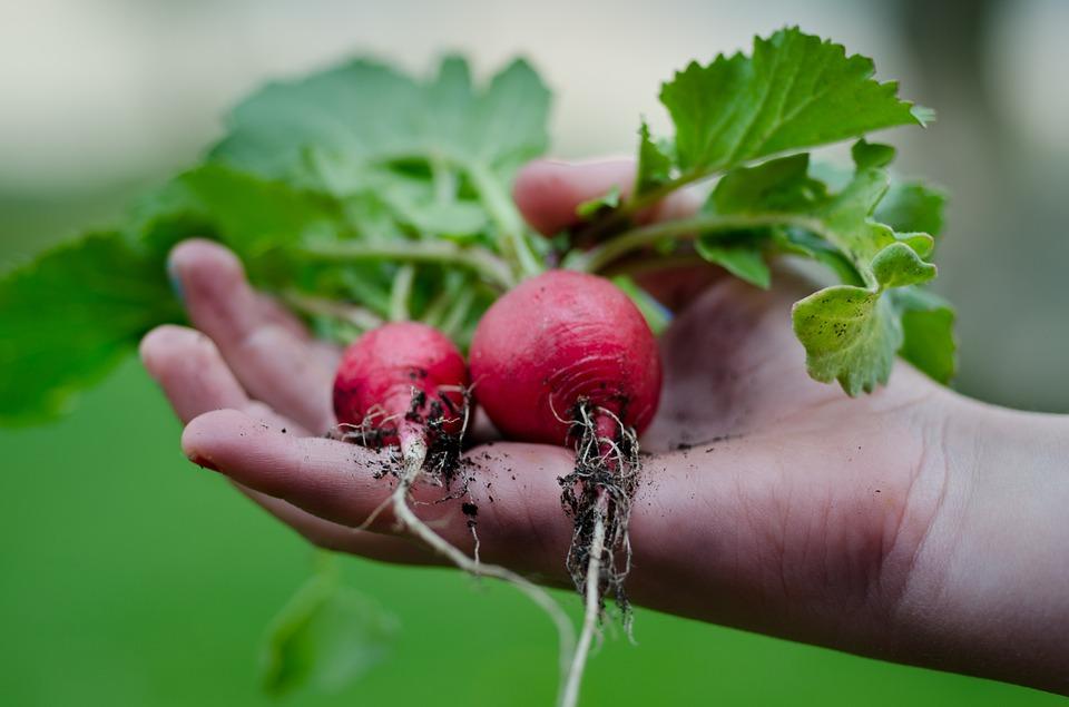 Comment cultive-t-on les radis ?