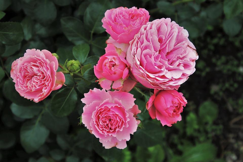Comment prendre soin d'un rosier d'intérieur ?